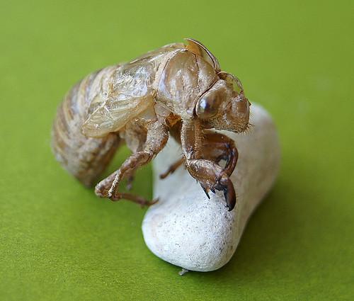 Cicada nymph skin