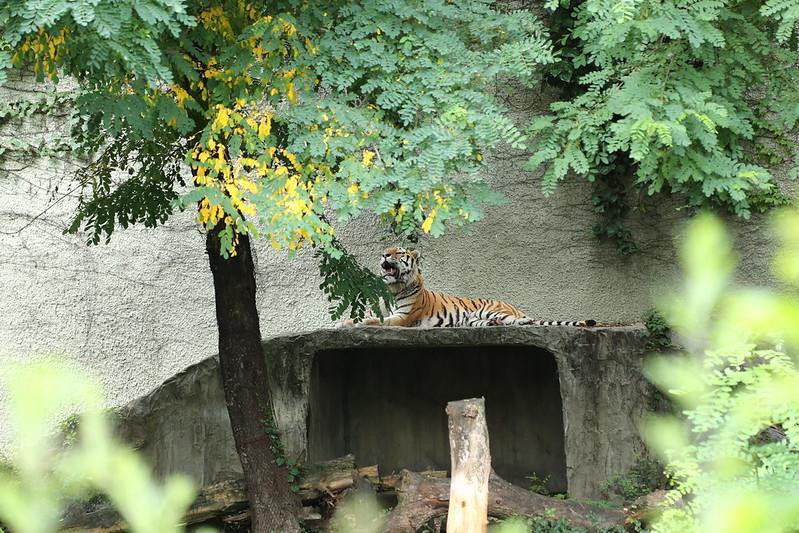 天王寺動物園のトラ3