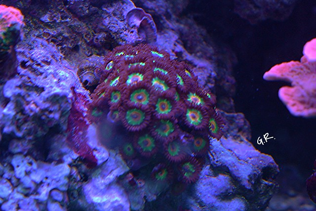 Tank breakdown sale.  Corals.  (closed) 10005158706_7300896248_z