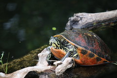 RED-BELLIED TURTLE