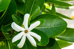 Tiaré Flower