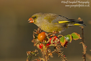 Messy Eater - Greenfinch (Carduelis chloris)