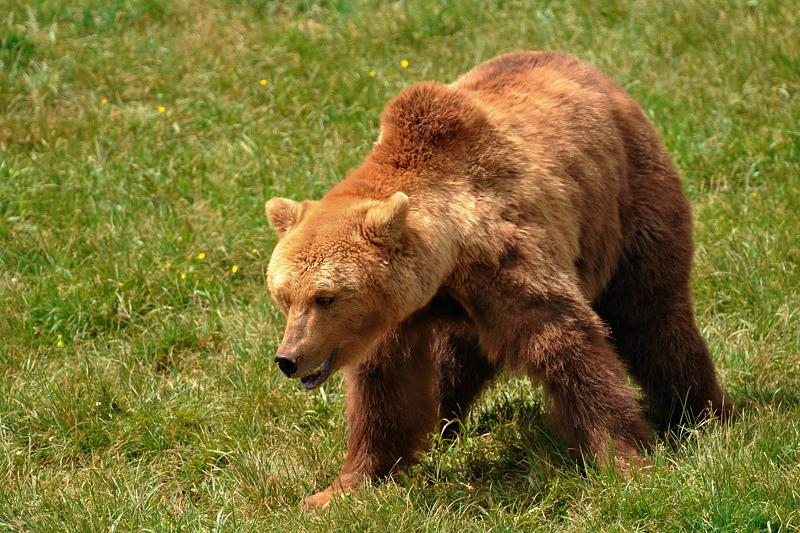 7. El peculiar oso pardo. Autor, Guillermo Fdez