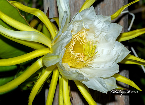 2509 Dragon fruit Flower