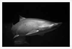 animal, fish, great white shark, shark, marine biology, lamniformes, carcharhiniformes, requiem shark, tiger shark,