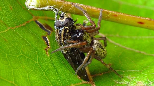Badumna longinqua (Grey or Brown House Spider)