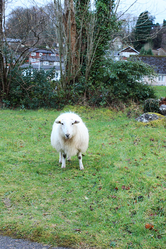 Stray sheep by Helen in Wales