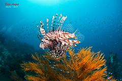 Lionfish @ Raja Ampat