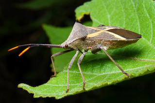Holy Cross Bug