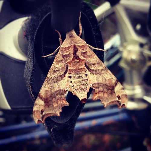 Moth friend resting on my bike lock...