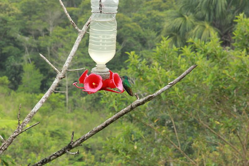 Hummingbird, Waqanki