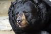 Cincinnati Zoo ... American Black Bear