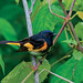 American Redstart by Jim Sullivan
