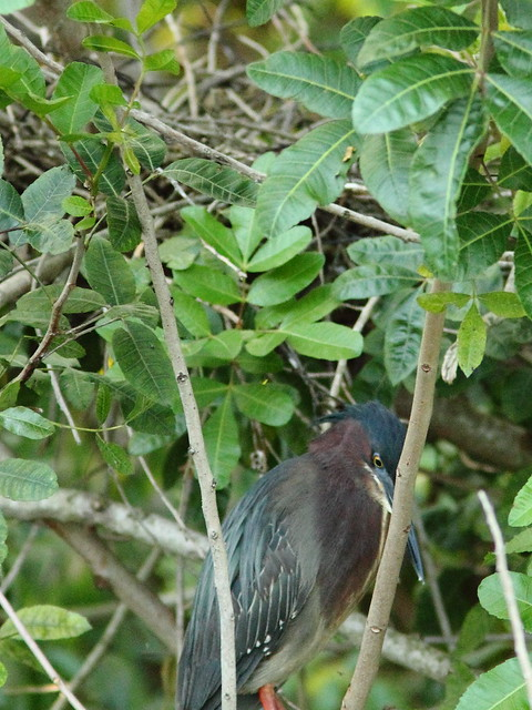 Green Heron at nest 20-3 2-20130527