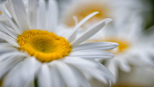 Daisy by Flickr User: dbushue
