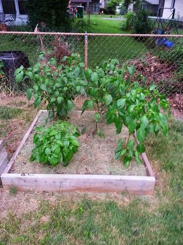 Pepper Garden (8/13)