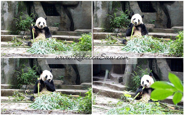 Chengdu - Panda Breeding Farm-023