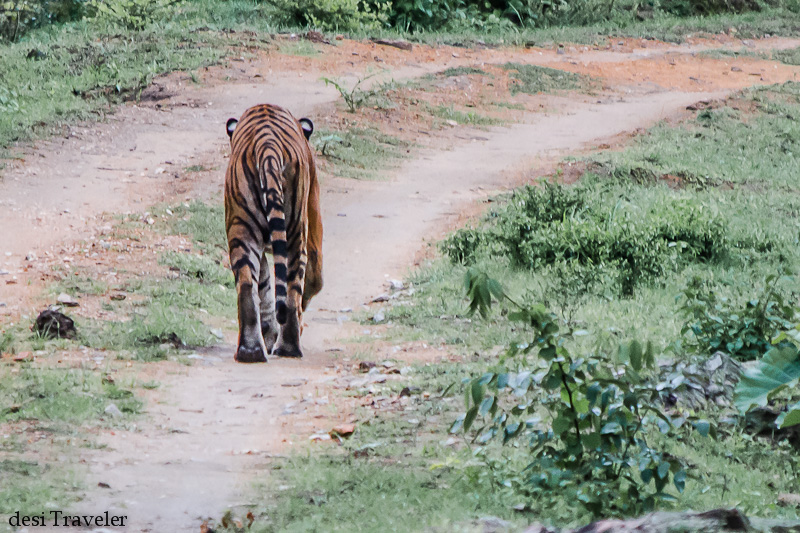 Leave me alone a tiger in Bandipur