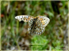 Callippe Fritillary Colorado Butterfly by Ron Birrell, DSC_4831