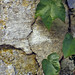 Small photo of Wall and ivy, in the Perche