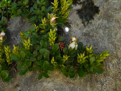 Salix retusa=Saule à feuilles rétuses