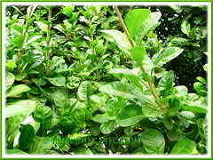 Evergreen foliage of Crescentia cujete (Calabash Tree), 24 June 2013