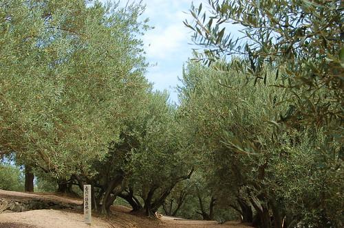 オリーブ園1