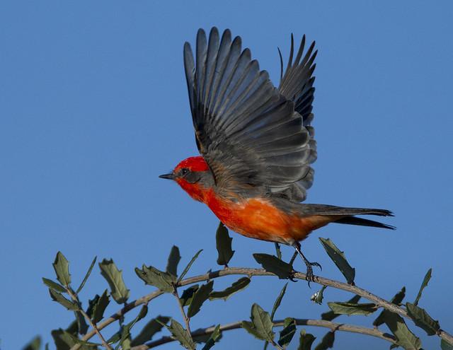 Vermillion Flycatcher (Explore)