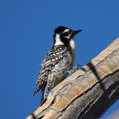 Nuttall's Woodpecker by Mike's Birds