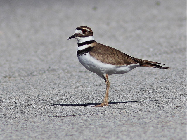Killdeer 20131214