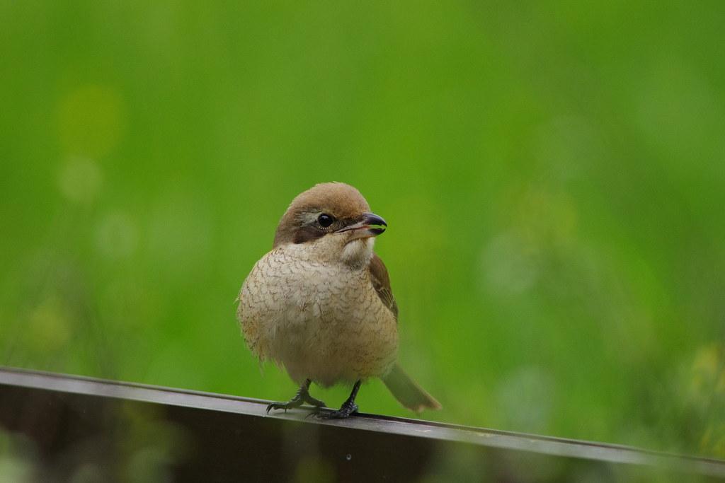 植物園拍鳥