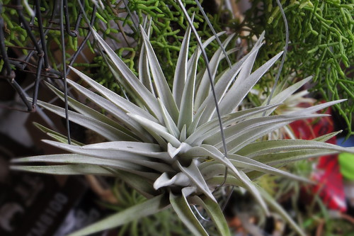 Tillandsia harrisii sp.