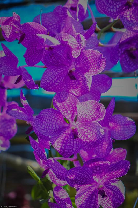 Purple Thai Orchids