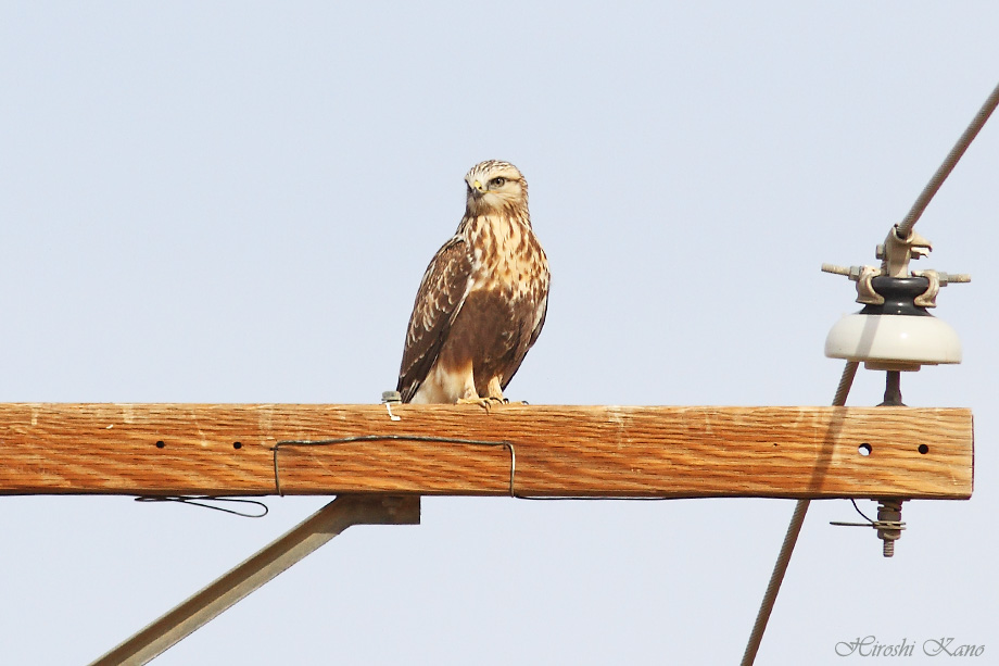 Rough-Legged Hawk 121713-06