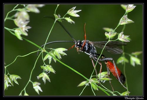 Ichneumonidae/Campopleginae
