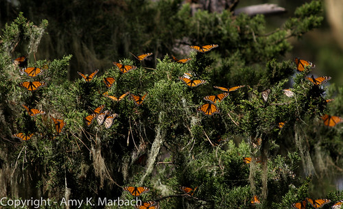 Monarch Butterflies in a tree