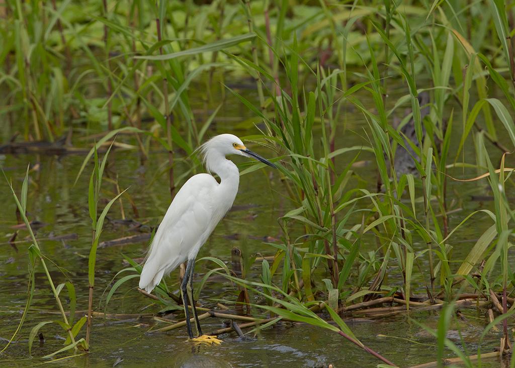 Snowy Egret 2014-01-24
