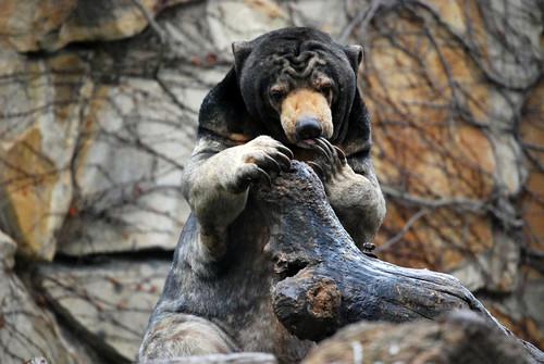 Malaienbär Bumipol im Zoo Berlin
