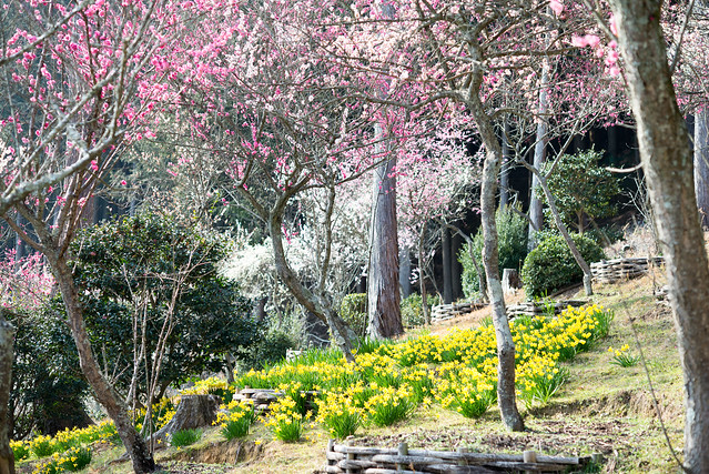 石山寺 梅と水仙