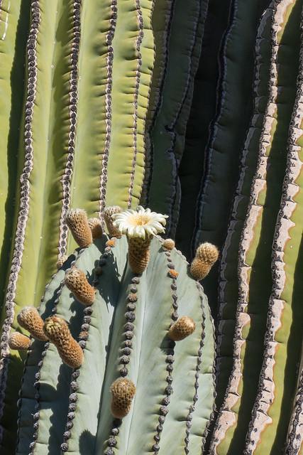 Cardon Cactus in Bloom © 2014 Bo Mackison