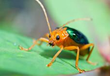bombardier beetle