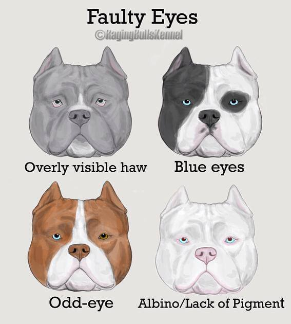 American Bully Faults Conformation