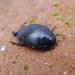 Small photo of Dytiscidae