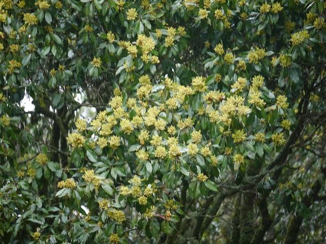 昆欄樹, Panasonic DMC-G5, LUMIX G VARIO 45-150mm F4.0-5.6