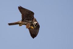 HolderHobby (Falco subbuteo)