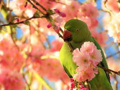 Parakeet in cherry blossom