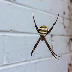 St Andrew's Cross spider