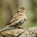 Sparrow by Ian Dyer