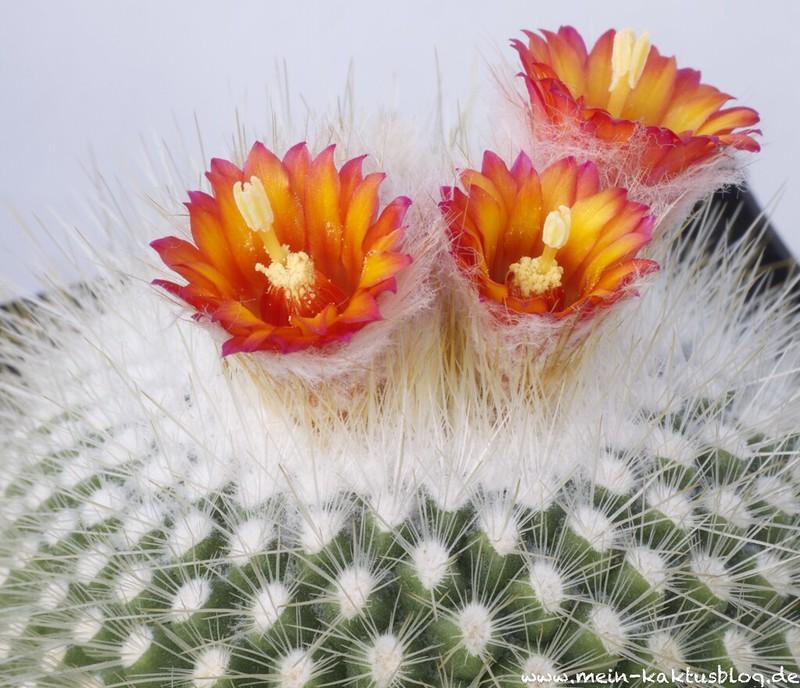 Parodia chrysacanthion Hybride mit roter Blüte