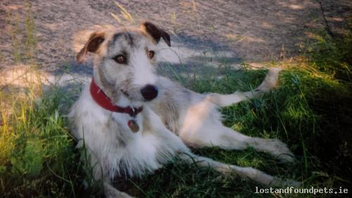 [Reunited] Thu, Jun 6th, 2013 Lost Male Dog - The Local Area, Dunlavin, Wicklow